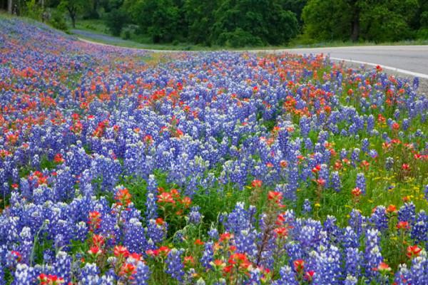 1956-1629SanAntonioWildflowers600